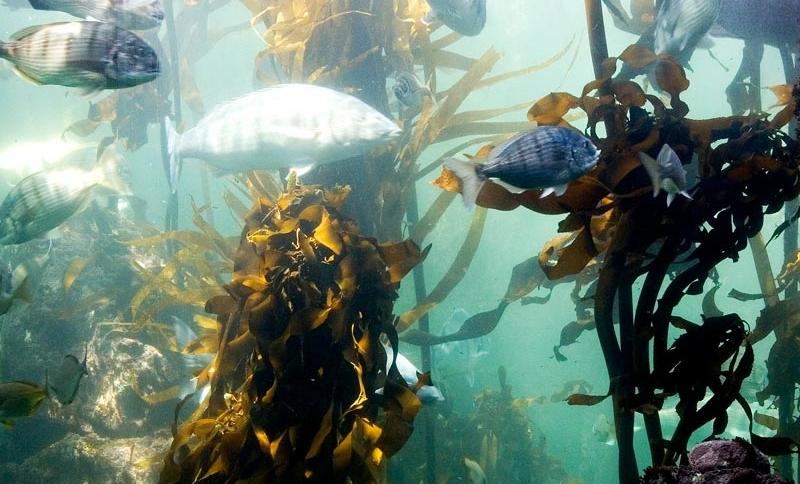 Afrikelp kelp underwater