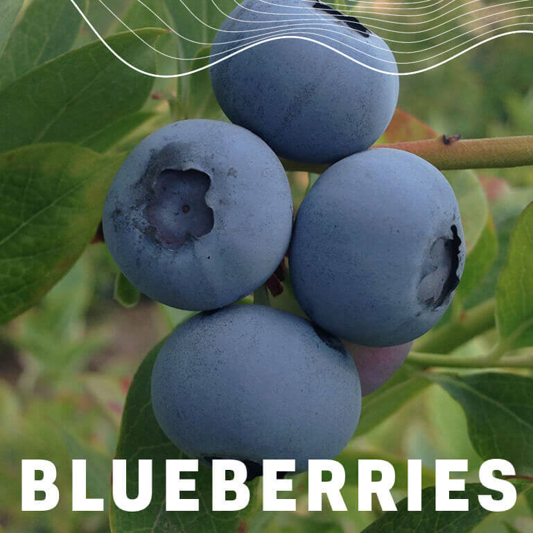 Afrikelp Blueberries