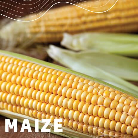 Afrikelp Maize