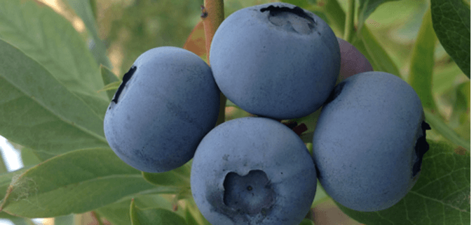 The use of kelp on blueberries